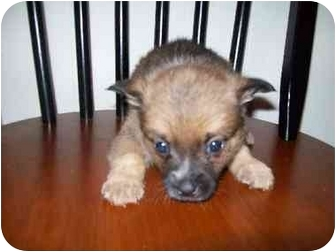 Pomeranian Mix Puppy for adoption in Bel Air, Maryland - Shayla