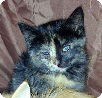 Domestic Shorthair Kitten for adoption in Troy, Michigan - Maxi Scherzer