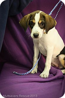 Beagle/Basset Hound Mix Puppy for adoption in Broomfield, Colorado - Mayo