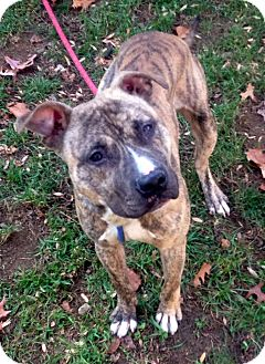 Pit Bull Terrier Mix Dog for adoption in Bloomfield, Connecticut - Nutter Butter