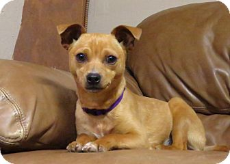 Chihuahua Mix Dog for adoption in Meridian, Idaho - Bonnie