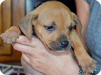 Boston Terrier/Pit Bull Terrier Mix Puppy for adoption in Austin, Texas - Zosi