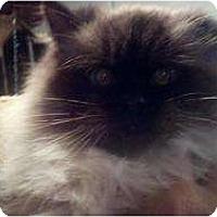 Adopt A Pet :: Hyla_courtesy post - Fairfax, VA