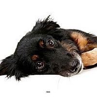 Adopt A Pet :: Nina - New York, NY