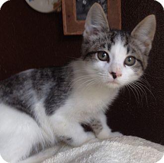 Domestic Shorthair Kitten for adoption in Snohomish, Washington - Finnegan