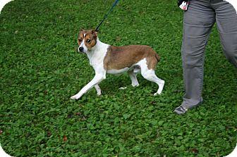 Terrier (Unknown Type, Medium)/Hound (Unknown Type) Mix Dog for adoption in Sylva, North Carolina - Bingo