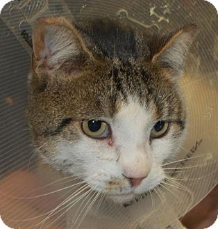 Domestic Shorthair Cat for adoption in Brooklyn, New York - January