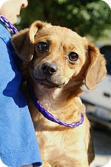 Dachshund/Terrier (Unknown Type, Small) Mix Dog for adoption in Englewood, Florida - Becky
