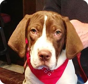 German Shorthaired Pointer/Great Pyrenees Mix Puppy for adoption in Hagerstown, Maryland - Conner
