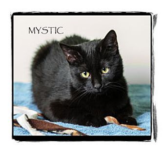 Domestic Shorthair Cat for adoption in Warren, Pennsylvania - Mystic
