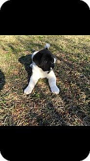 Pit Bull Terrier/St. Bernard Mix Puppy for adoption in Albemarle, North Carolina - Smoke