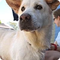 Adopt A Pet :: Callie - Knoxville, TN