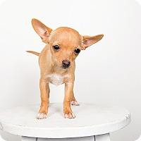 Adopt A Pet :: Ivy- Love Bug! - Redondo Beach, CA