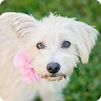 Adopt A Pet :: Shirley Temple - Kingwood, TX