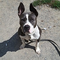 American Staffordshire Terrier/American Pit Bull Terrier Mix Dog for adoption in Cuddebackville, New York - Buster