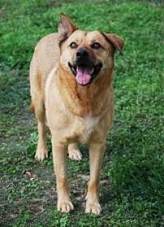 Shepherd (Unknown Type) Dog for adoption in Memphis, Tennessee - Tillie
