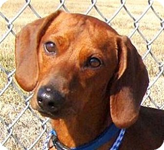 Dachshund Dog for adoption in Oswego, Illinois - Peanut