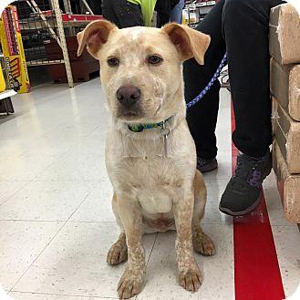 Labrador Retriever Mix Puppy for adoption in Milton, New York - Bishop