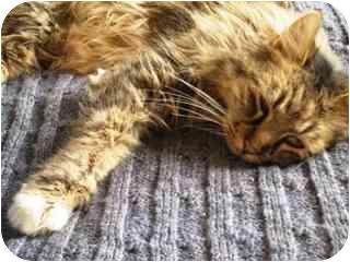 Maine Coon Cat for adoption in Scottsdale, Arizona - Cinderella