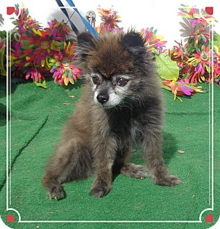 Pomeranian Dog for adoption in Marietta, Georgia - ISABELL