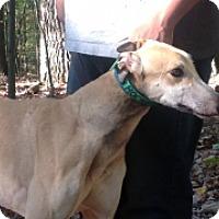 Adopt A Pet :: KB's Rocket Dog - Gerrardstown, WV