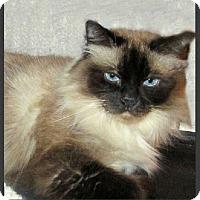 Adopt A Pet :: Sophie - Cleopatra - Gilbert, AZ