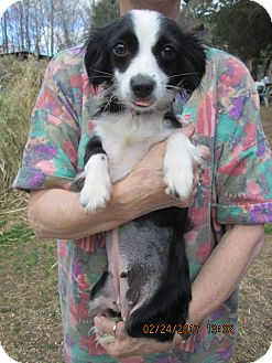 Chihuahua/Papillon Mix Dog for adoption in Williston Park, New York - DOLLY