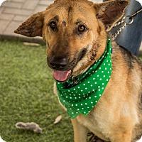 Adopt A Pet :: Precious - Phoenix, AZ