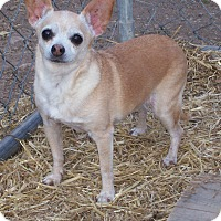 Chihuahua Mix Dog for adoption in Questa, New Mexico - Sandy