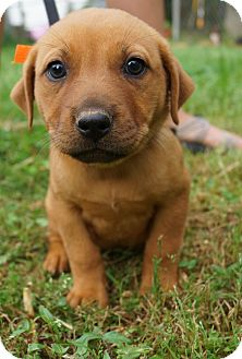 Boxer/German Shepherd Dog Mix Puppy for adoption in Newark, Delaware - Kirby