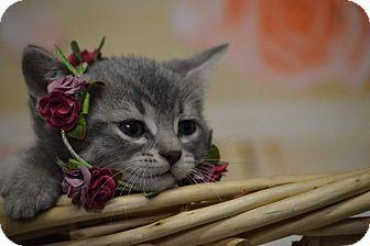 American Shorthair Kitten for adoption in Rockwood, Tennessee - MISCHEF