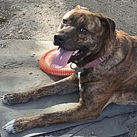 Mountain Cur Mix Dog for adoption in Livonia, Michigan - Pebbles