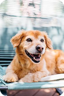 Corgi/Golden Retriever Mix Dog for adoption in Los Angeles, California - Boomer