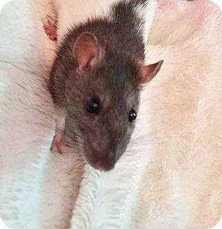 Rat for adoption in Oklahoma City, Oklahoma - Maggie