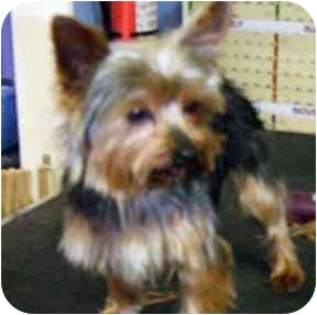 Yorkie, Yorkshire Terrier Dog for adoption in Conroe, Texas - Logan