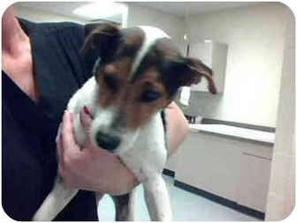 Jack Russell Terrier Mix Dog for adoption in Austin, Texas - Montgomery