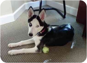Husky/Terrier (Unknown Type, Medium) Mix Dog for adoption in Lincolnton, North Carolina - Angel