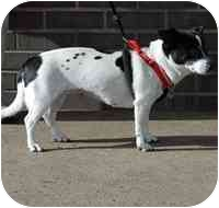 Rat Terrier Mix Dog for adoption in Denver, Colorado - Livia