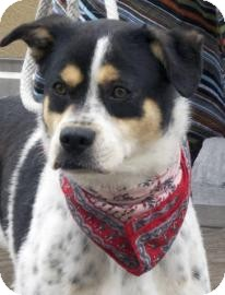 Greater Swiss Mountain Dog Mix Dog for adoption in Brooklyn, New York - Tammy