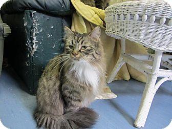 Domestic Mediumhair Cat for adoption in Kingston, Washington - Chiffon