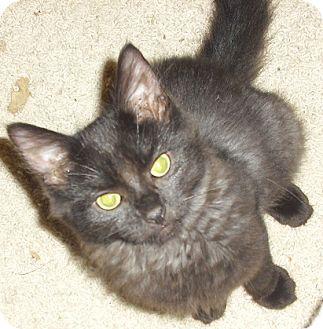 Domestic Mediumhair Kitten for adoption in Fairborn, Ohio - Seraphina-Lexington Litter