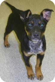 Australian Cattle Dog/Rat Terrier Mix Puppy for adoption in Lincolnton, North Carolina - Enzo
