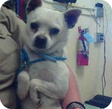 Chihuahua Mix Dog for adoption in Yuba City, California - 03/11 Unnamed