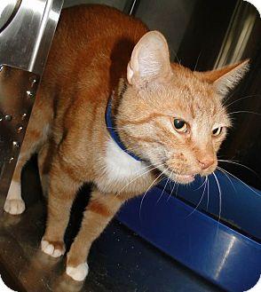 Domestic Shorthair Cat for adoption in Brooksville, Florida - 1022721 Jellybean