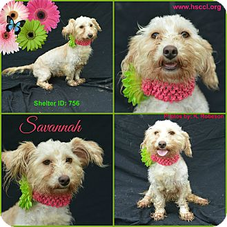 Poodle (Miniature)/Terrier (Unknown Type, Small) Mix Dog for adoption in Tool, Texas - Savannah