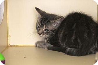 Domestic Shorthair Kitten for adoption in Gloucester, Massachusetts - Evergreen