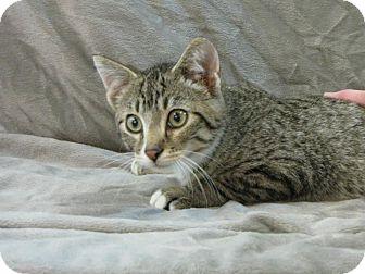 Domestic Shorthair Cat for adoption in tama, Iowa - Shane
