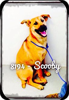 Shepherd (Unknown Type) Mix Dog for adoption in Dillon, South Carolina - Scooby