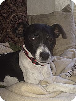 Jack Russell Terrier Mix Dog for adoption in Blue Bell, Pennsylvania - Patches