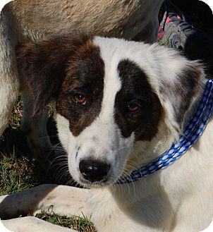 Border Collie/Australian Shepherd Mix Dog for adoption in Allentown, New Jersey - Jackie